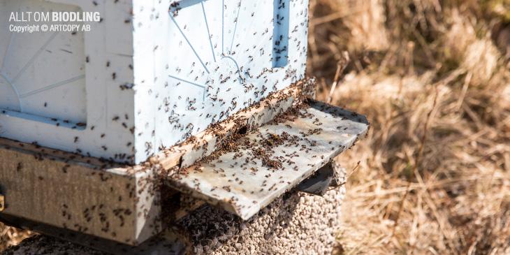Myror i bikupa / bisamhälle - Bihälsa