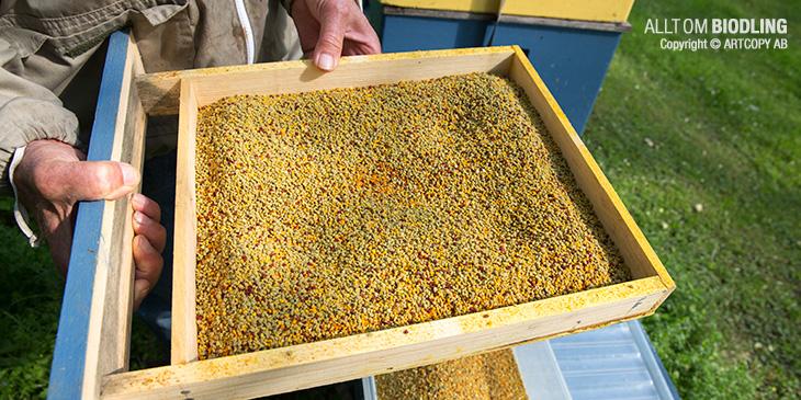 Pollenfälla - skörda bipollen
