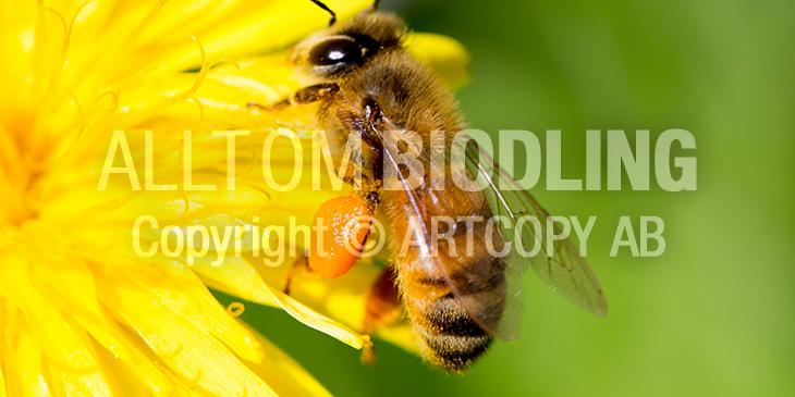Pollenkorg / Pollenbyxor
