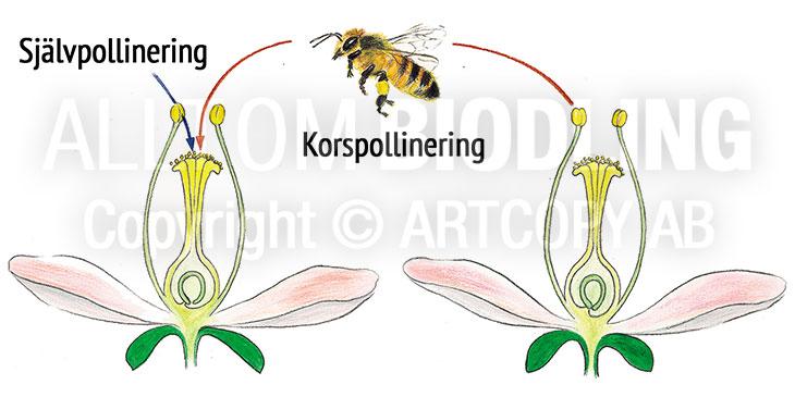 Pollinering - Självpollinering eller korspollinering