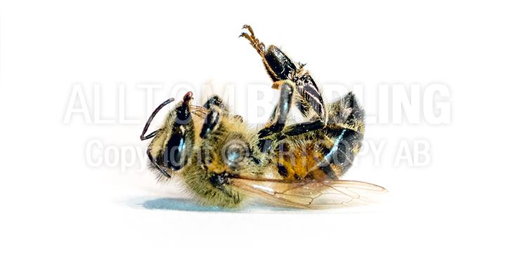 Bidöd -Bidöden - Bihälsa - Honungsbi