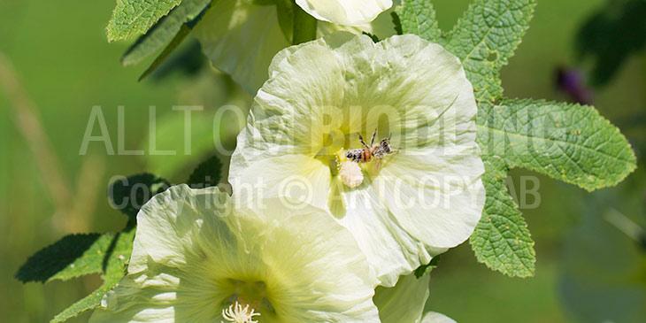 Honungsbi i Stockros (Alcea rosea) - Biväxter