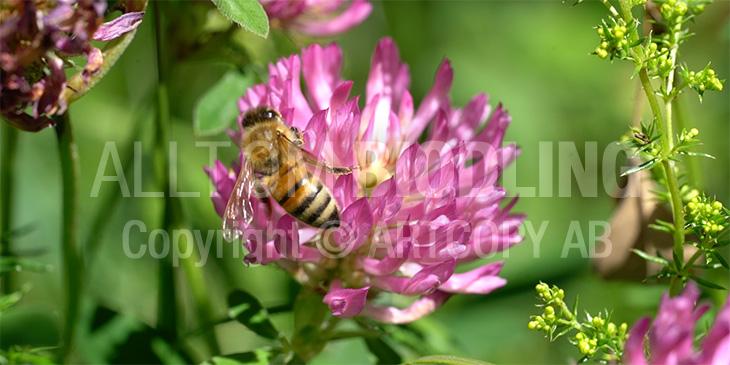 Biväxter - Skogsklöver(Trifolium medium)