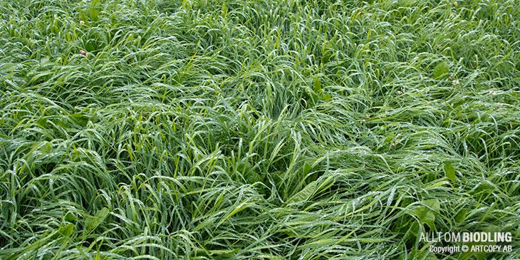 Gräs - Ensilage - Vall - Biodling