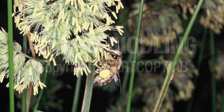 Gräs som pollenkälla - Gräspollen - Biväxter - Biodling