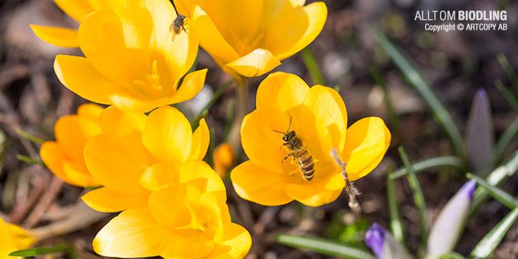 Krokus - Honungsbi - Biodling