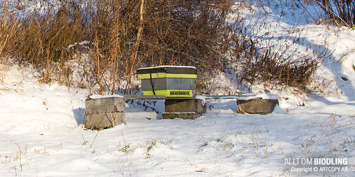 Vinterbi / Vinterbin - Honungsbi - Biodling